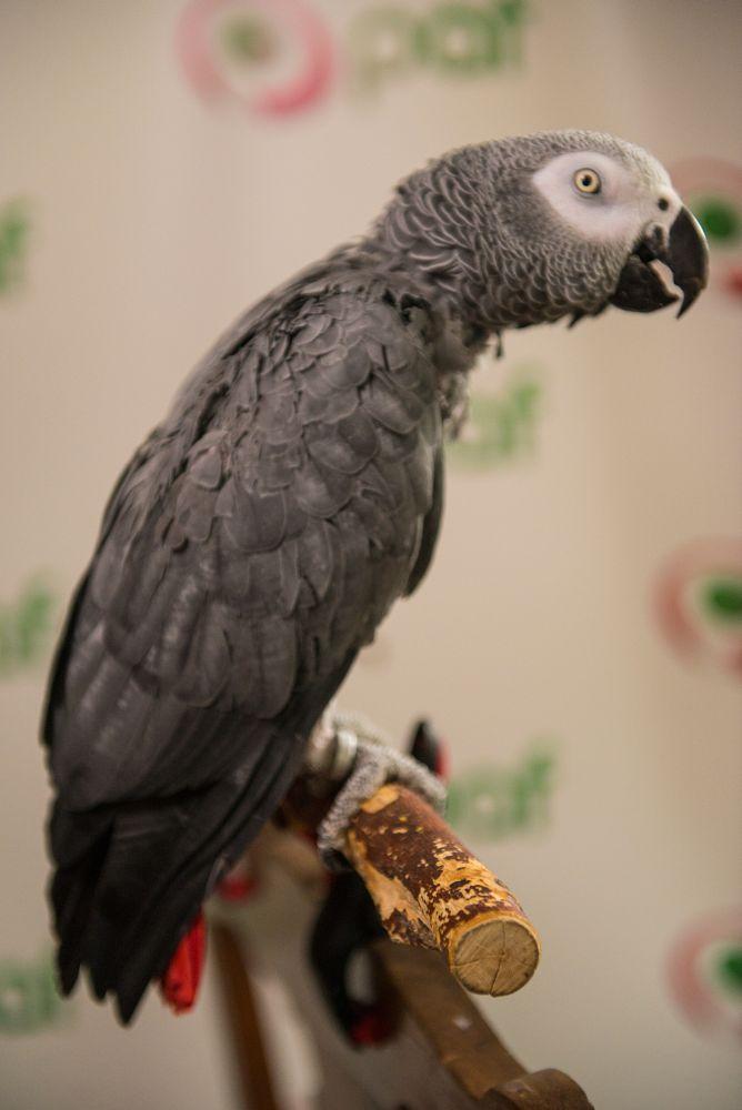 Papagoi Robbie: avamängu voidab Brasiilia